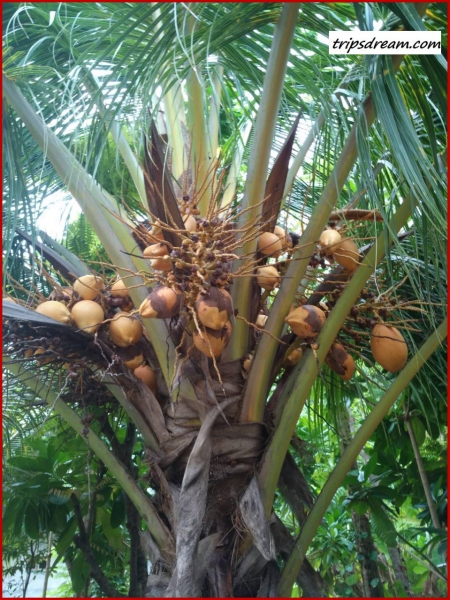 Coconuts_959_1280