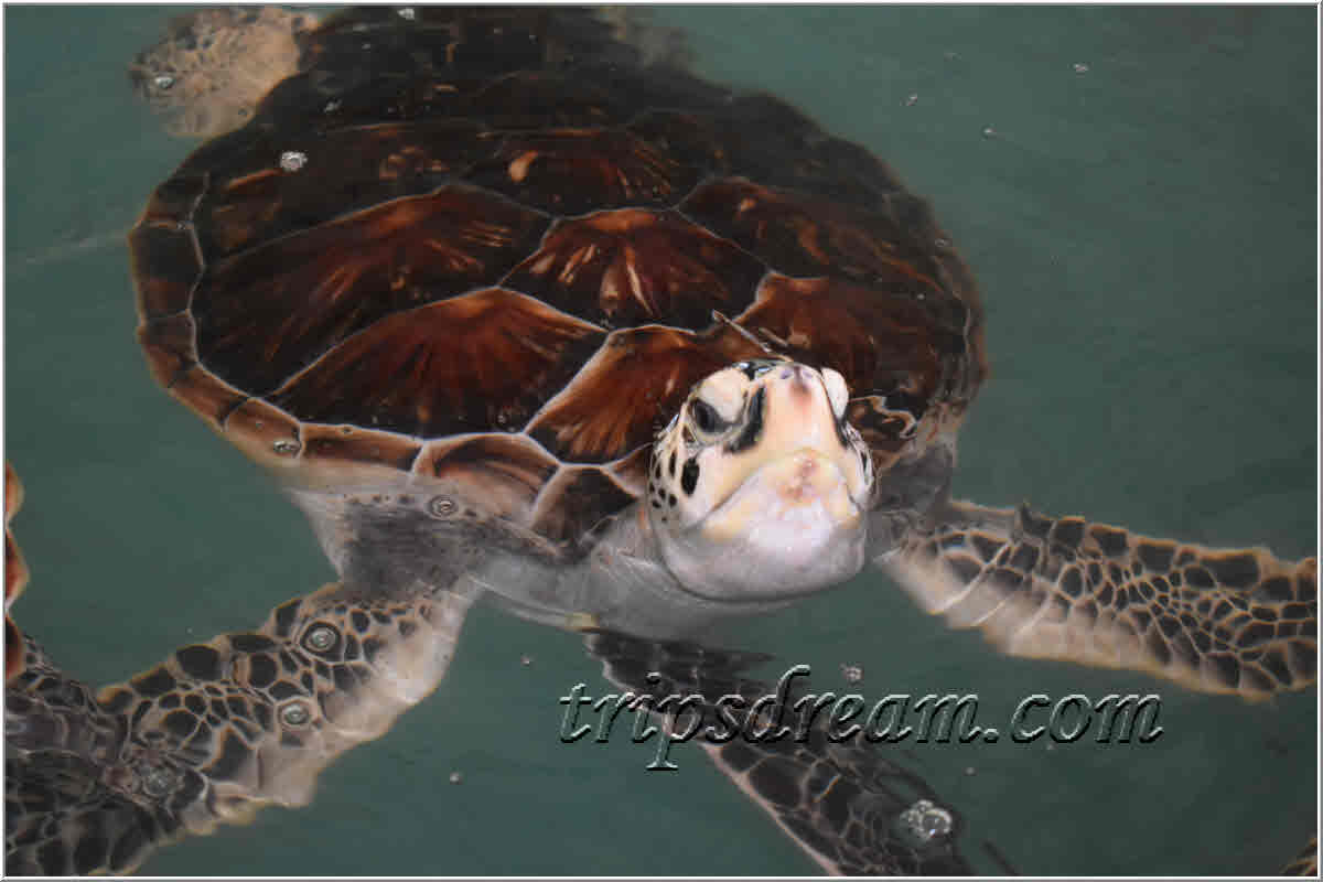 70_Большая черепаха