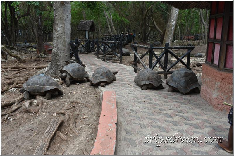 Черепахи здесь везде. Призон Айленд (Prison Island). Занзибар