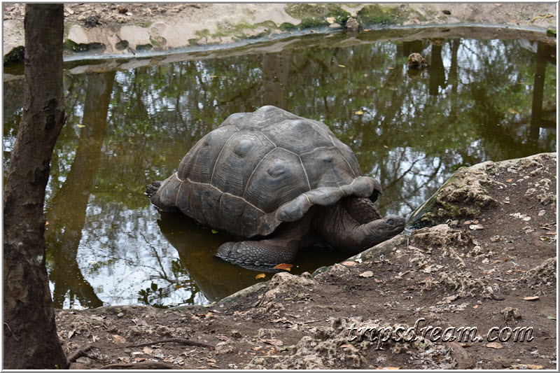У черепахи Акуна-матата. Призон Айленд (Prison Island). Занзибар
