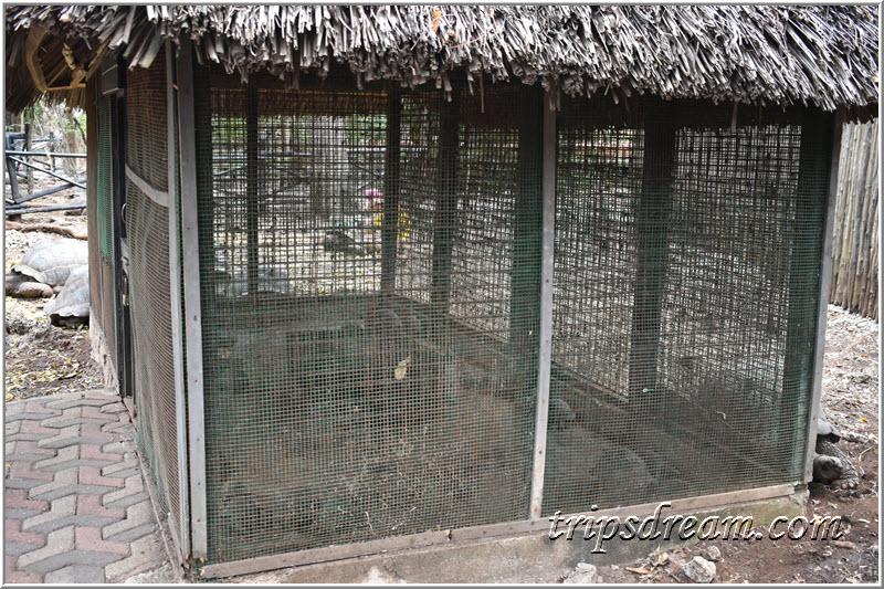 Детеныши гигантских черепах. Призон Айленд (Prison Island). Занзибар
