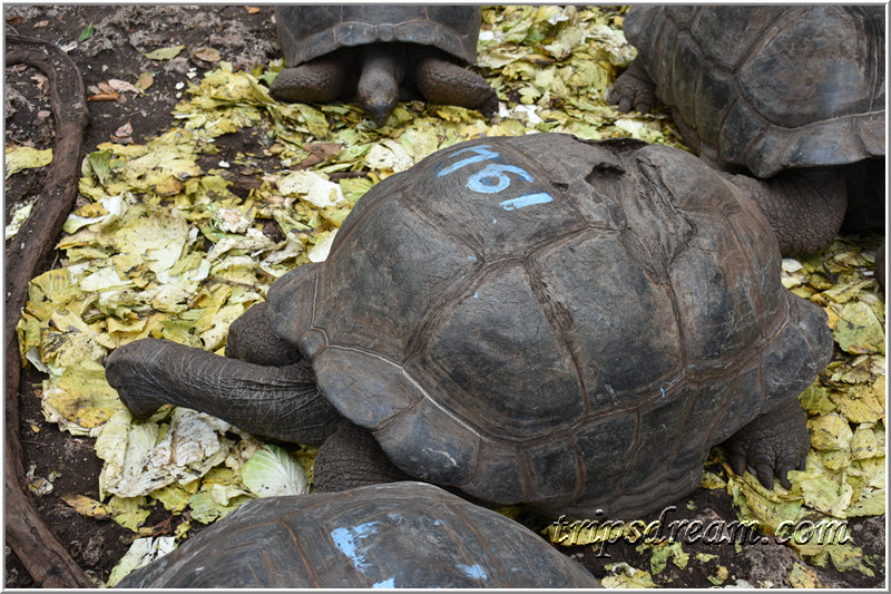 Самая старая черепаха ест капусту. Призон Айленд (Prison Island). Занзибар
