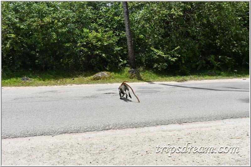 Самка колобуса с детёнышем перебегает дорогу. Парк Джозани. Занзибар