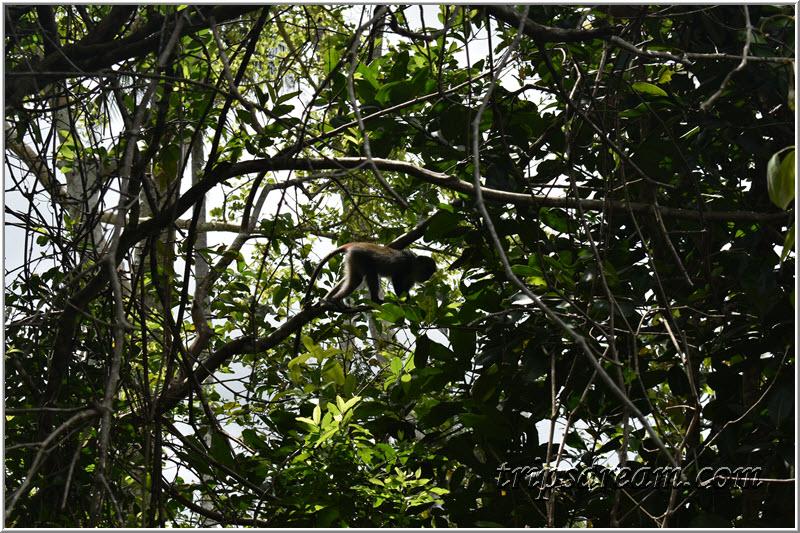 Чёрная обезьянка. Парк Джозани. Занзибар