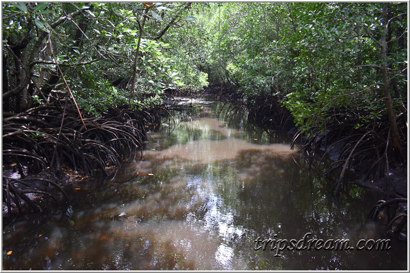 Речка в мангровых зарослях. Парк Джозани. Занзибар
